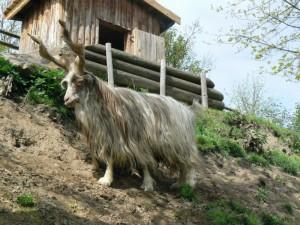 Photos, description goats breed Girgentana, characteristic for home breeding