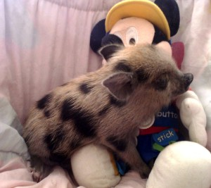 Photos, description pigs mini-pig breed Bergshtresser Knirt, characteristic for keeping home care