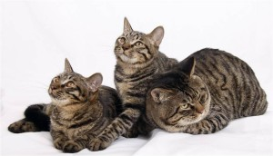 Фото, опис китайської кішки породи Лі Хуа, характеристика для домашнього розведення.