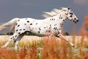 Photos, description Knabstrupper breed horses, breeding characteristics
