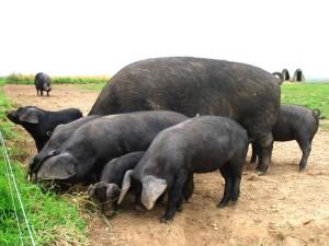 Фото, опис свині породи Велика чорна, характеристика для розведення і утримання.