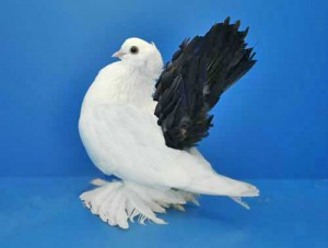 Photos, description pigeons breed black-tailed Novocherkassk, characteristic for breeding