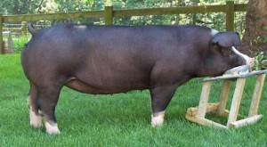 Photos, description breed pigs Polish-Chinese, characteristic for cultivation and maintenance