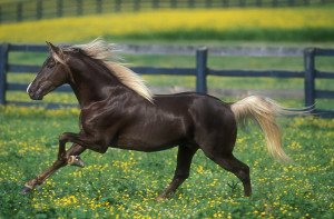 Photos, description horses breed Rocky Mountain (Rocky Mountain), characteristic for breeding