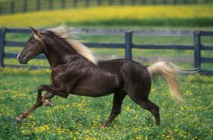 Фото, опис коней породи Рокі Маунтін (скелястих гір), характеристика для розведення.
