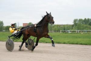 Фото, опис коней породи російська рисиста, характеристика для домашнього розведення.