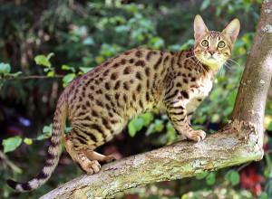 Фото, опис кішки породи Серенгеті, характеристика для домашнього розведення і утримання.