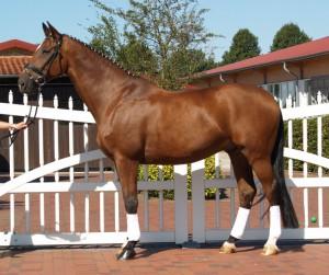 Фото, опис коней породи Великопольського, характеристики мерина для розведення.