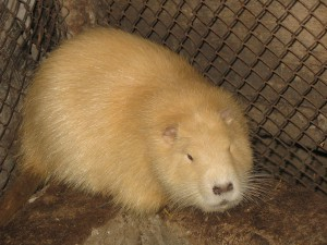 Photos, description of the breed golden nutria, characteristic for home breeding