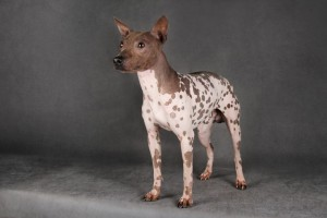 Photos, description of breed American Hairless Terrier, characteristic for cultivation and maintenance of the house