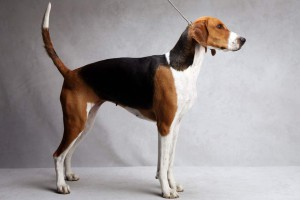 Photos, description breeds of dogs American Foxhound, characteristic for cultivation and maintenance