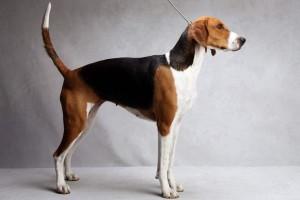 Фото, опис собак породи Американський фоксхаунд, характеристика для розведення і утримання.