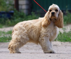 Photos, description of dog breeds American cocker spaniel, characteristic for home breeding and maintenance