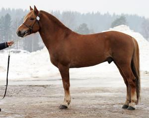 Photos, description Finnish horse breed characteristics for breeding