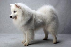 Фото, описание собак породы Американский Эскимосский шпиц, характеристика для содержания дома.