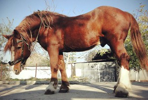 Фото, опис коня породи Радянський ваговоз, характеристика.