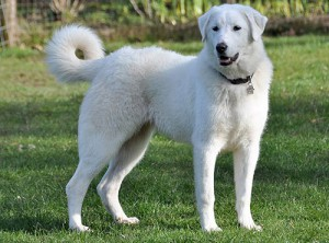 Photos, description Akbash dog breed, characteristic for cultivation at home