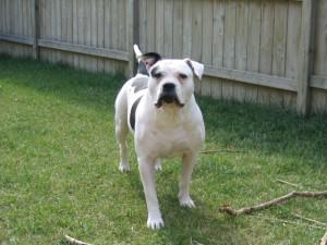 Фото, опис собак породи Алапахський чистокровний бульдог, характеристика для розведення в будинку.