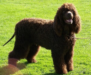 Photos, description breed dogs American Water Spaniel, characteristic for home breeding and maintenance