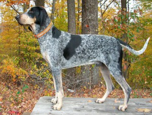 Фото, опис собак породи Американська блакитна гасконська гончак, характеристика для розведення.