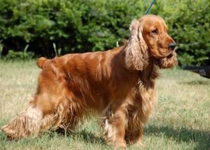 Фото, опис собак породи Англійська кокер-спанієль, характеристика для домашньго розведення і утримання.