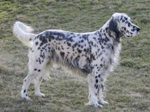 Фото, опис собак породи Англійський сетер, характеристика для домашнього розведення і утримання.