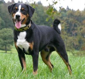 Фото, опис породи собак Аппенцелльская гірська собака, характеристика для домашнього розведення і утримання.