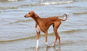 Photos, description Azawakh dog breed, characteristic for cultivation and maintenance of the house