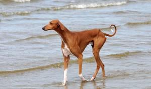 Фото, опис собак породи Азавак, характеристика для розведення і утримання дома.
