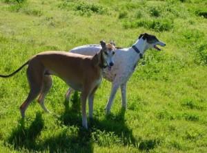 Photos, description Bandzharskaya dog breed greyhound breeding characteristics and content