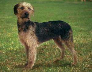 Photos, description Bosnian coarse-breed dog hound breeding characteristics and content