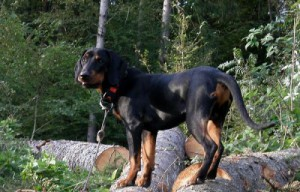 Photos, description dog breed Brandl Brakk, characteristic for home breeding and maintenance