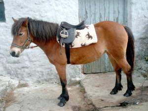 Фото, опис поні породи ексмурского, характеристики.