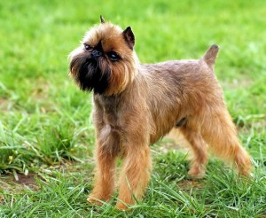 Photos, description dog breed Brussels Griffon, characteristic for home breeding and maintenance