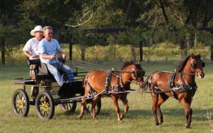 Фото, опис мініатюрної Каспійської породи коней, характеристика.