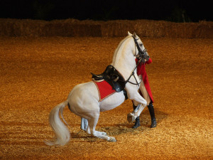 Photos, description Lipizzaner horse breed, characteristic of the stallion