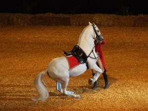 Photos, description Lipizzaner horse breed, characteristic of the stallion