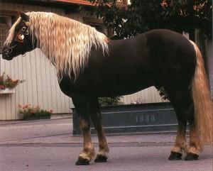 Фото, опис коня Норікійской породи, характеристика.