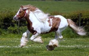 Фото, опис коня шайрської породи (Шайр), характеристика