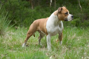 Photos, description dog breed American Staffordshire Terrier, characteristic for home breeding and keeping house