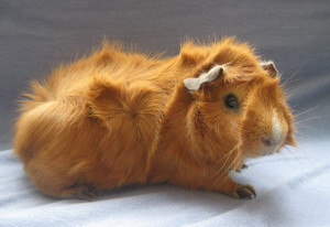 Photos, description Abyssinian guinea pig breed, characteristic for home breeding and maintenance
