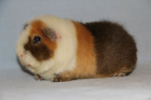Photos, description guinea pig breed American teddy, characteristic for home breeding and maintenance