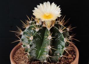 Description zvezdovidnogo Astrophytums, care, types, transplant photos
