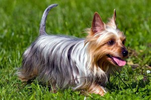 Photos, description breed dogs Australian Silky Terrier, characteristic for home breeding