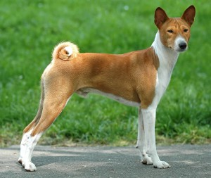 Photos, description Basenji dog breed, characteristic for the maintenance of the house