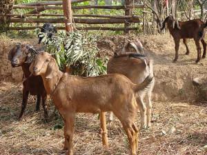 Photos, description goats breed Benadir, characteristic for home breeding and maintenance