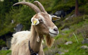 Фото, опис кіз породи Біонда справ Адамелло, характеристика для домашнього розведення і утримання.