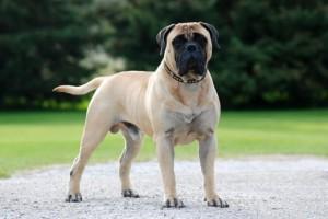 Фото, описание собак породы Бульмастиф, характеристика для домашнего разведения и содержания.