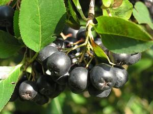 Photos, description, black chokeberry, landing near the house