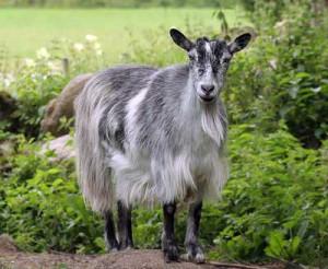 Photos, description Finnish Landrace breed goats, characteristic